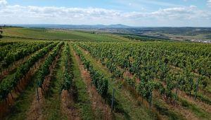 Dovolená na jižní Moravě 2020 - 1914363 - Rozlehlé vinice u Kobylí